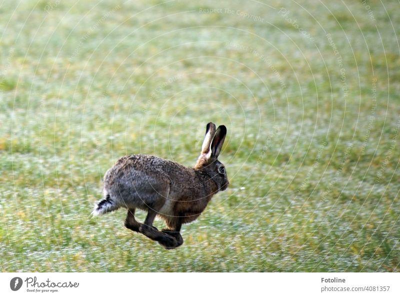 Der Hase, der den Igel abgehängt hat. Hase & Kaninchen Tier Ohr Fell Farbfoto 1 Außenaufnahme Tag niedlich Menschenleer Tiergesicht Schwache Tiefenschärfe