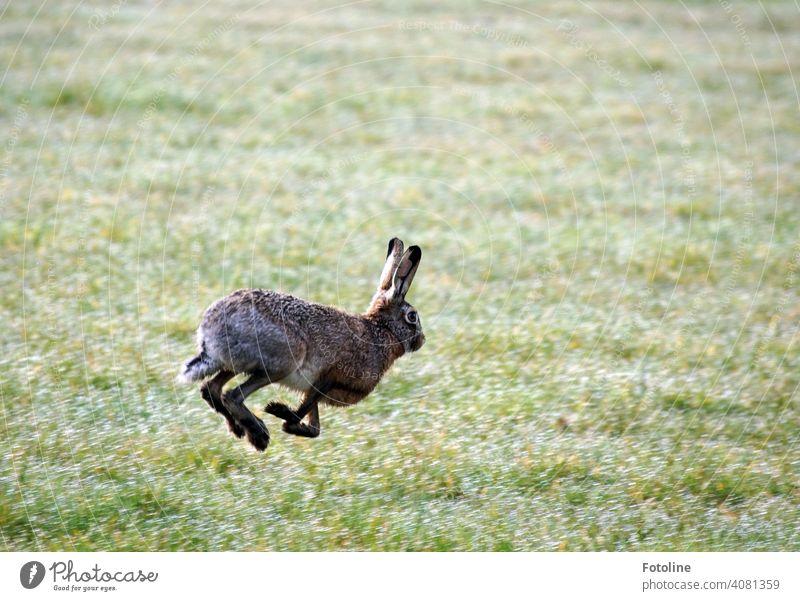 Jetzt aber schnell Osterhase! Lauf! Hase Hase & Kaninchen Tier Ohr Fell Farbfoto 1 Außenaufnahme Tag niedlich Menschenleer Tiergesicht Schwache Tiefenschärfe