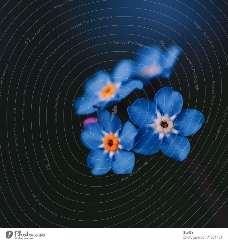 Vergissmeinnicht im Schatten Frühjahrsblüher Myosotis Frühlingsblumen blaue Blumen Blütezeit blühende Frühlingsblumen Mai romantisch Romantik Frühlingsgarten