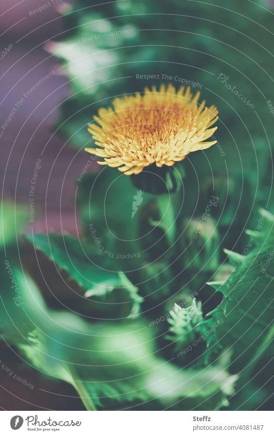Gewöhnlicher Löwenzahn mit gezackten Blättern gewöhnlicher Löwenzahn Taraxacum Wildpflanze Blütezeit Mai Bienenweide blühende Wildpflanze Unkraut Nutzpflanze