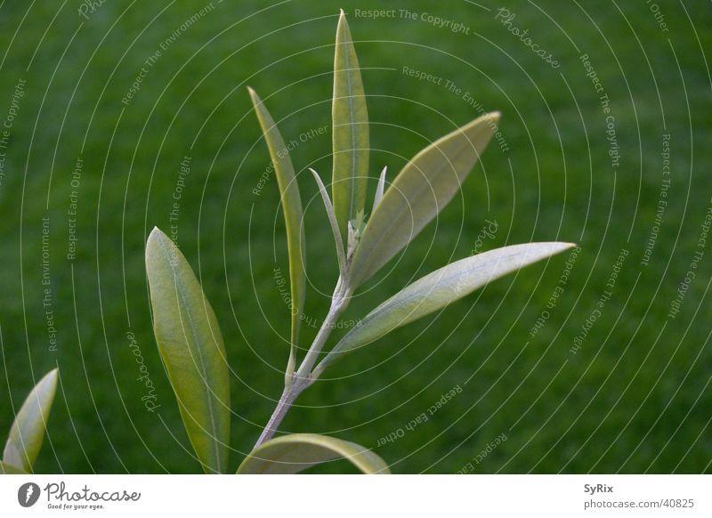 Olivenzweig Baum Blatt Ast Zweig