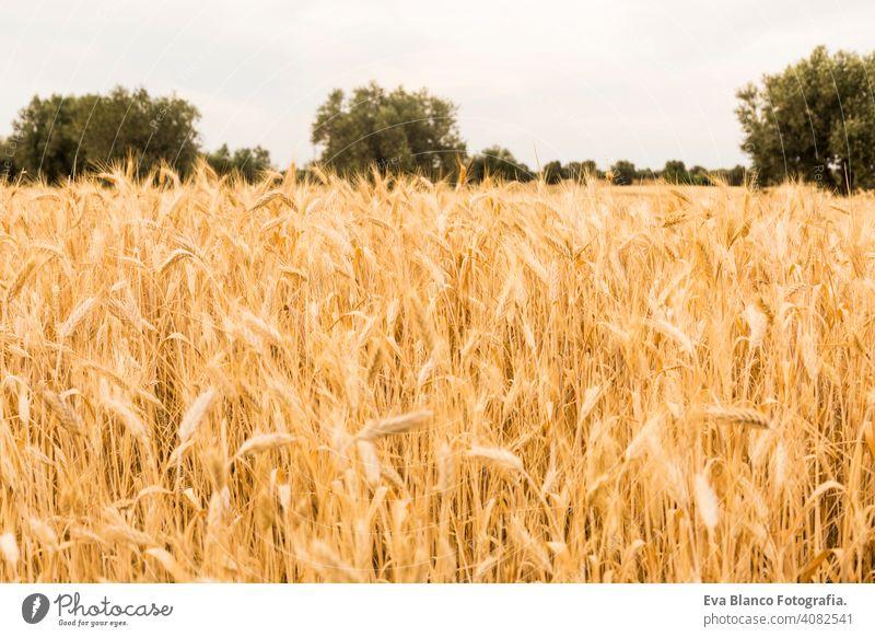 GELBES WEIZENFELD im Sommer. Ähren bereit für die Ernte. Blauer Himmel und Olivenbäume auf dem Hintergrund gelb Korn golden Pflanze Brot Müsli Feld Natur