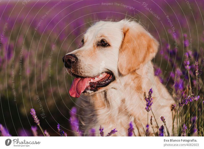 Adorable Golden Retriever Hund in Lavendelfeld bei Sonnenuntergang. Schönes Porträt eines jungen Hundes. Haustiere im Freien und Lifestyle Reinrassig Wiese