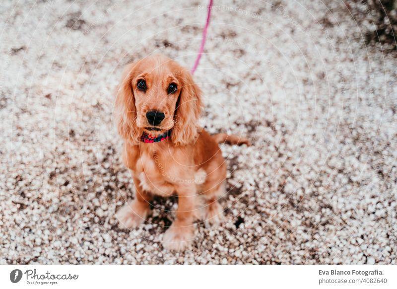 Porträt von niedlichen Welpen Cocker Spaniel Hund im Freien Spaziergang laufen anleinen Frau Haustier Park sonnig Liebe Umarmung Lächeln Kuss züchten Reinrassig