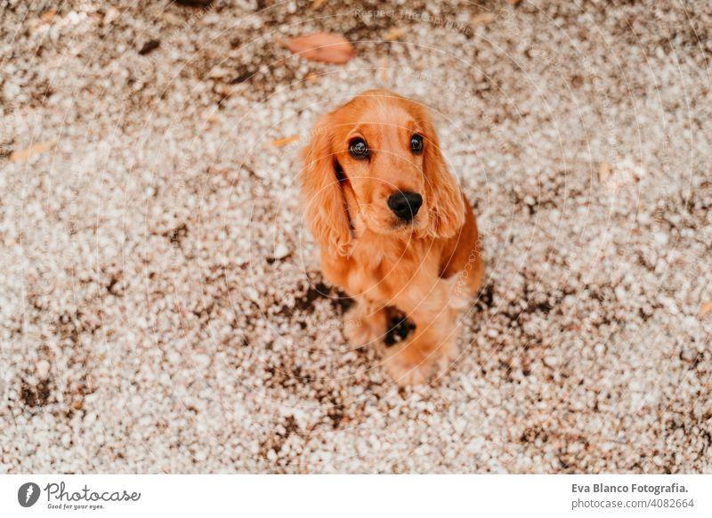 Porträt von niedlichen Welpen Cocker Spaniel Hund im Freien Frau Haustier Park sonnig Liebe Umarmung Lächeln Kuss züchten Reinrassig jung schön blond braun