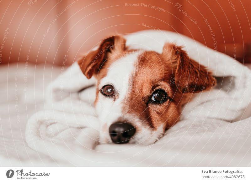 V niedlich Hund jack russell schlafen müde ruhen aussruhen Augen geschlossen Schnauze niemand genießen LAZY schnarchen Glück Komfort schön Erholung heimisch