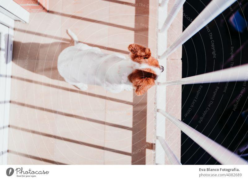 niedlichen Hund stehend an einem sonnigen Tag auf einem Balkon Terrasse jack russell Terrier im Freien Haus zuschauend niemand Porträt träumen 1 Tier Hündchen