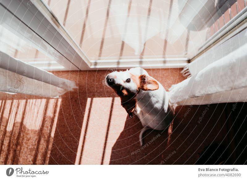 niedlichen Hund stehen an einem sonnigen Tag am Fenster heimwärts Balkon Terrasse jack russell Terrier im Freien Haus zuschauend niemand Porträt träumen 1 Tier