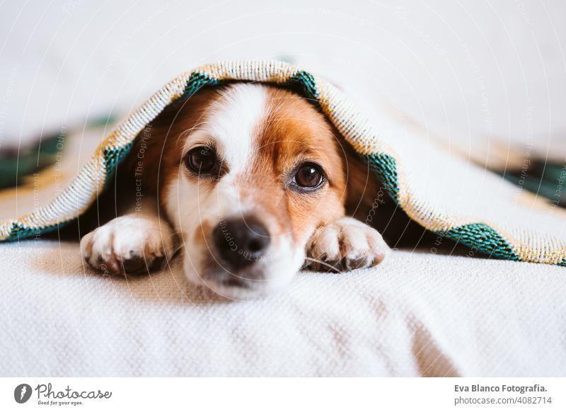 niedlichen Jack Russell Hund mit ethnischen Decke bedeckt sitzt auf der Couch zu Hause. Lebensstil im Innenbereich jack russell Haustier Deckung heimwärts