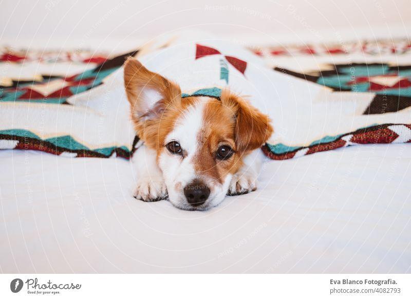 süßer Jack Russell Hund, der mit einer ethnischen Decke bedeckt ist und zu Hause auf dem Bett liegt. Lebensstil im Haus jack russell Haustier Deckung heimwärts