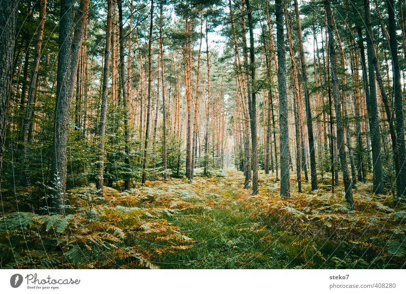 Wege-Illussion Natur grün Wald natürlich braun Kiefer Farn ursprünglich Märchenwald Schneise