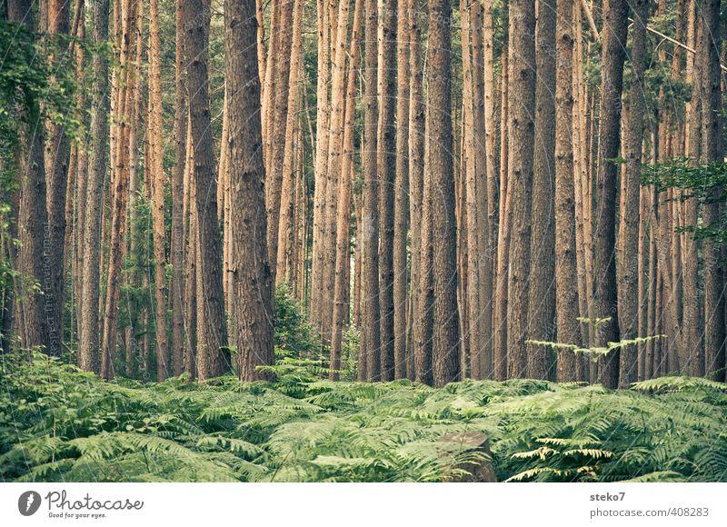 den Wald vor lauter Bäumen nicht sehen Natur grün Sommer Baum braun Baumstamm Symmetrie Kiefer Farn Unterholz orientierungslos
