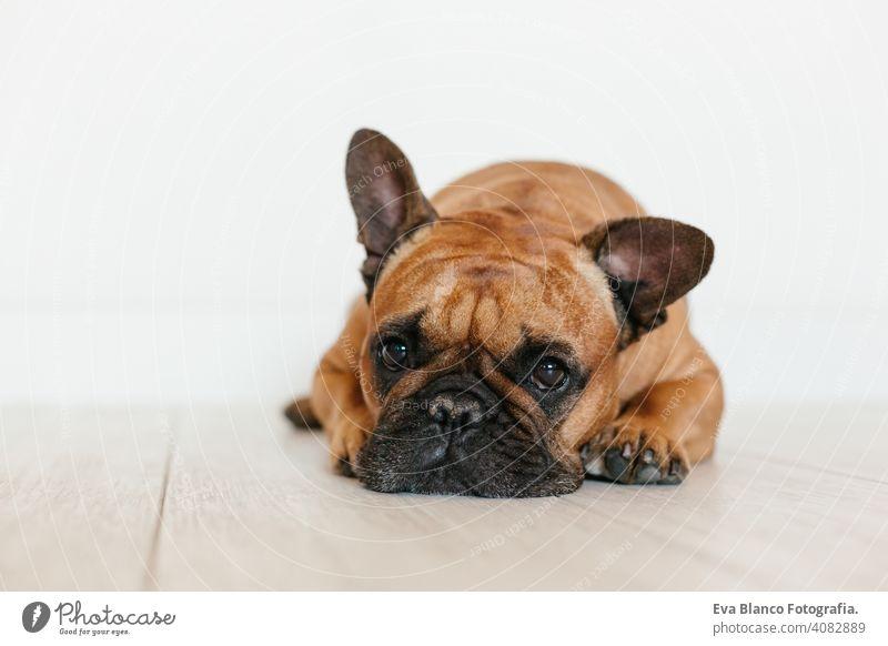 Porträt von niedlichen braunen französischen Bulldogge zu Hause und Blick auf die Kamera. Lustiger und verspielter Ausdruck. Haustiere im Haus und Lifestyle