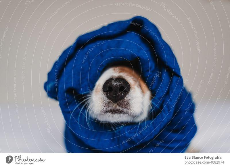 Porträt von niedlichen Jack Russell in ein blaues Taschentuch gewickelt klassisches Blau Schal Einstecktuch Hund Bett jack russell aussruhen klein lieblich