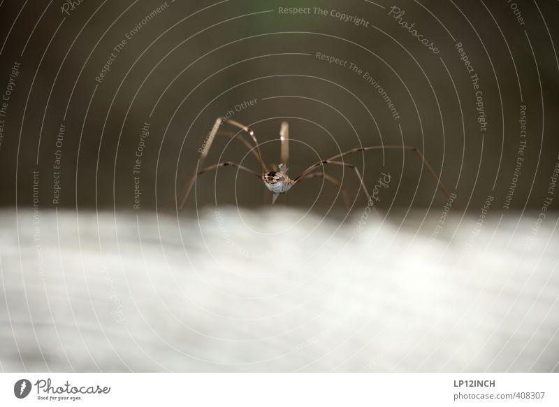 Der Arsch vom Spinne(r) 1 Tier krabbeln Ekel elegant Angst Insekt Jagd warten Beine Farbfoto Außenaufnahme Nahaufnahme Makroaufnahme Textfreiraum oben