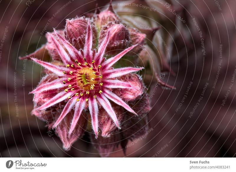 Ein Steingwächs in Blüte. Großblütiger Hauswurz (Sempervivum grandiflorum). großblütiger hauswurz sempervivum grandiflorum steingewächs blüte blühen blume