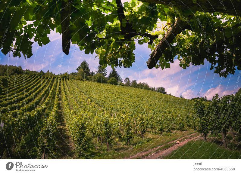 Eine kleine Pause am Wanderweg inmitten des Weinberges Weintrauben Weinbau weinherstellung hang wanderweg Außenaufnahme Pflanze Weingut Nutzpflanze grün Natur