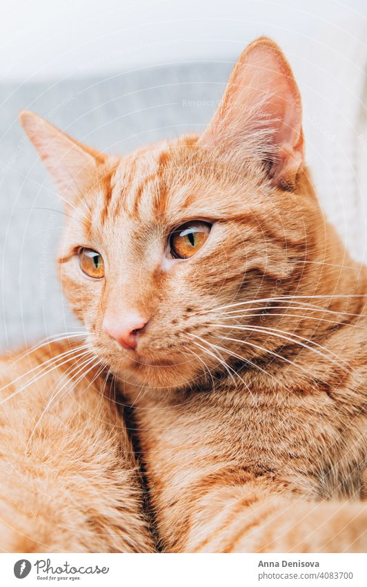 Rotschopfkatze liegt auf Sofa Katze Ingwer Haustier Tier Ingwer-Katze niedlich Porträt fluffig heimisch orange rot Fell pelzig heimwärts Komfort