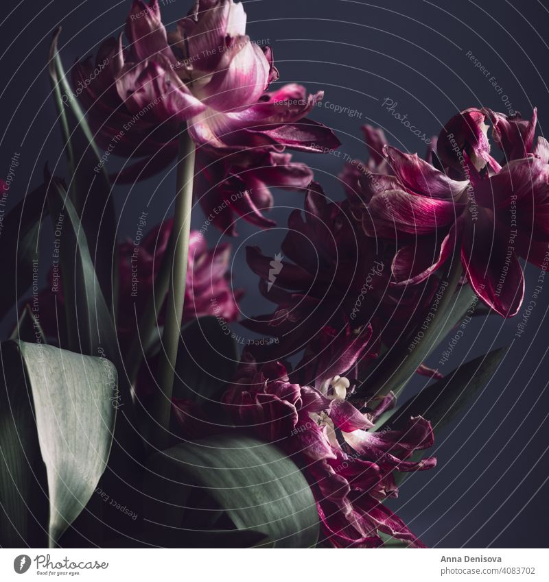 Nahaufnahme von getrockneten Papageientulpen. Tulpen trockene Blume Papageien-Tulpe Blumenstrauß Vase Blumenkollektionen Frühlingsblüte Anlass Feiertag