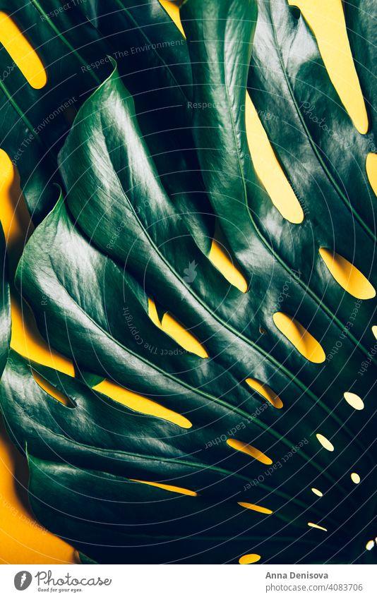 Tropical monstera Blätter auf gelb Fensterblätter Blatt Monsterblatt tropisch Handfläche Palmblatt Pflanze Trendige Pflanze abschließen flache Verlegung