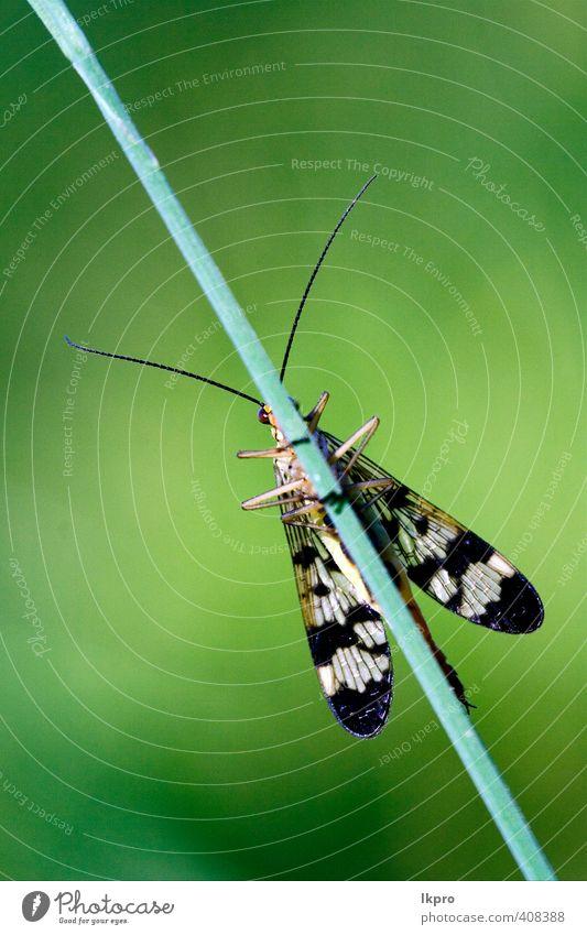 Vorderseite der Wildfliege Mecoptera Skorpionfliege Panorpa P Sommer Garten Natur Pflanze Blatt Weiche Fluggerät Behaarung Schmetterling Pfote Tropfen wild