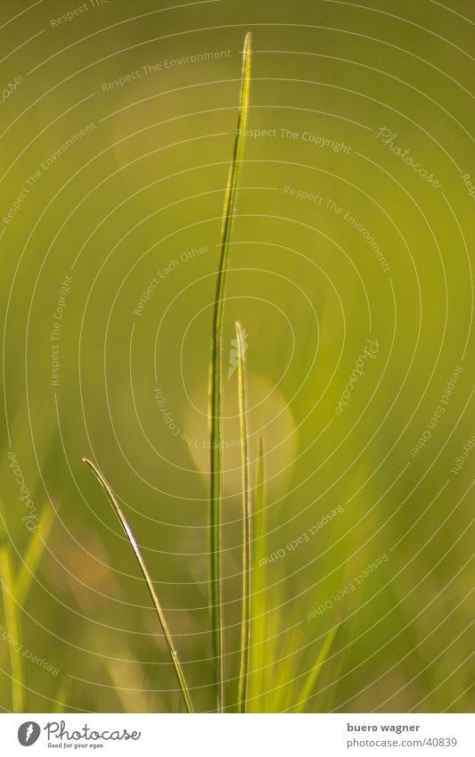 Grashalm Natur grün Pflanze Farbe ruhig Umwelt Wiese Frühling natürlich ästhetisch authentisch Halm vertikal