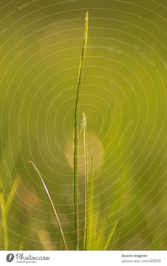 Grashalm Natur grün Pflanze Farbe ruhig Umwelt Wiese Gras Frühling natürlich ästhetisch authentisch Halm vertikal