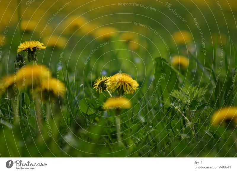 löwenzahn Wiese Blume Löwenzahn Gras gelb grün Detailaufnahme Nahaufnahme Makroaufnahme