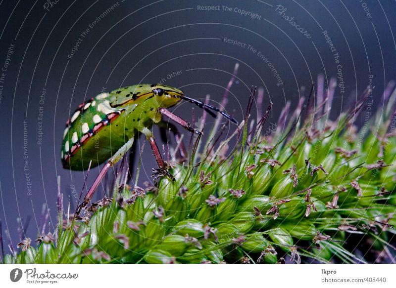 Seite der wilden Hemiptera-Fliege Nezara Virdula Hete Sommer Garten Natur Pflanze Blume Blatt Weiche Fluggerät Behaarung Schmetterling Pfote Tropfen Blühend