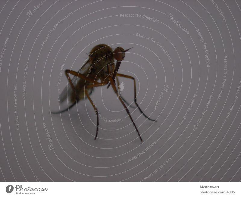 was das für'n Viehch? Tier Fliege Insekt Stechmücke