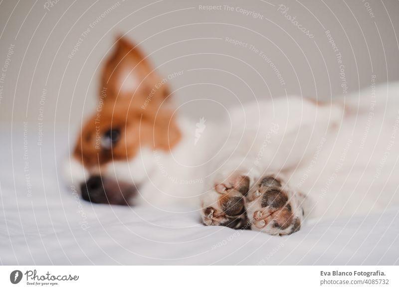 Süßer Jack Russell Hund auf dem Bett liegend. Fokus auf Pfoten niedlich jack russell aussruhen klein lieblich bezaubernd sich[Akk] entspannen fallen weiß