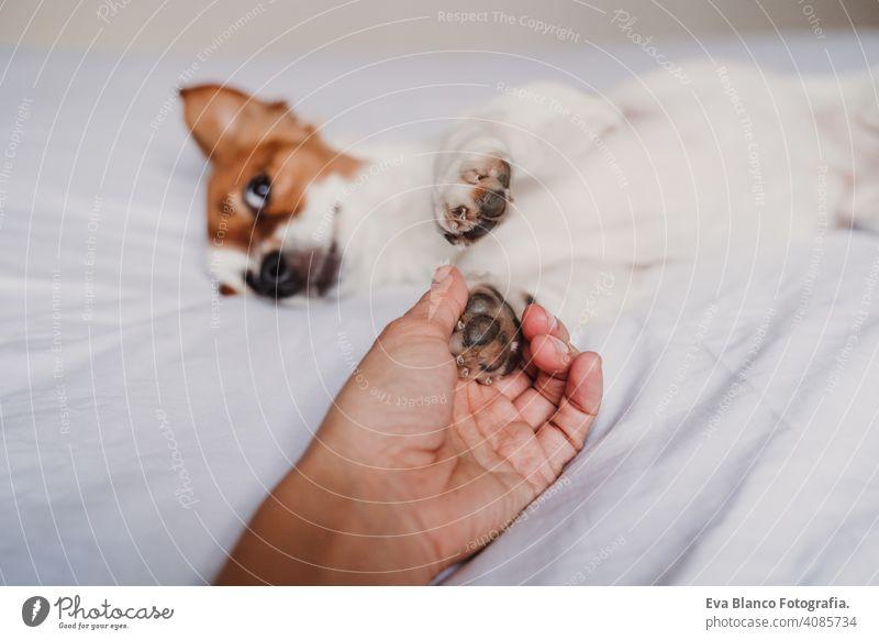 Frau Hand hält Hund Pfote auf dem Bett liegend Beteiligung Besitzer Liebe Zusammensein Zusammengehörigkeitsgefühl Pfoten niedlich jack russell aussruhen klein