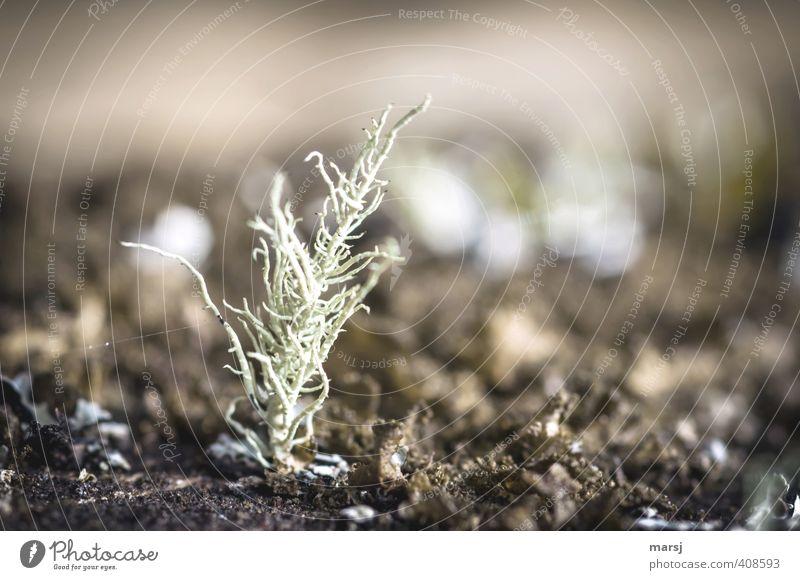 Miniaturkoralle Natur Pflanze Wildpflanze Flechten stehen dehydrieren Wachstum außergewöhnlich dunkel einfach klein natürlich braun Farbfoto Gedeckte Farben