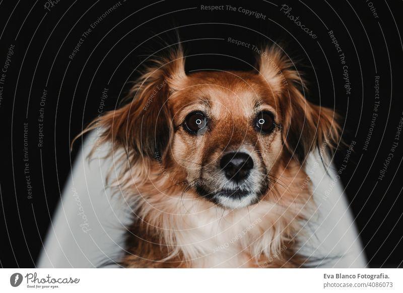 Nahaufnahme Porträt eines niedlichen Hundes sitzt auf einem Stuhl über schwarzen Hintergrund zurück. führte Ring Reflexion in den Augen. schwarzen Hintergrund