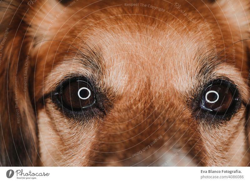 Nahaufnahme Porträt ein Hund Augen mit led Ring Reflexion. Makroaufnahme weiß attraktiv Maul Nase Tier Säugetier Glück jung rein Fell züchten Reinrassig