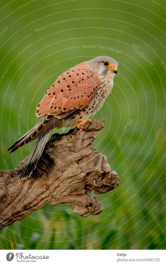 Schöner Greifvogel auf einem Stamm Falken Vogel Turmfalke wild Tierwelt allgemein Raptor Beute Falco Natur Tinnunculus Raubtier Feder Jäger Schnabel braun
