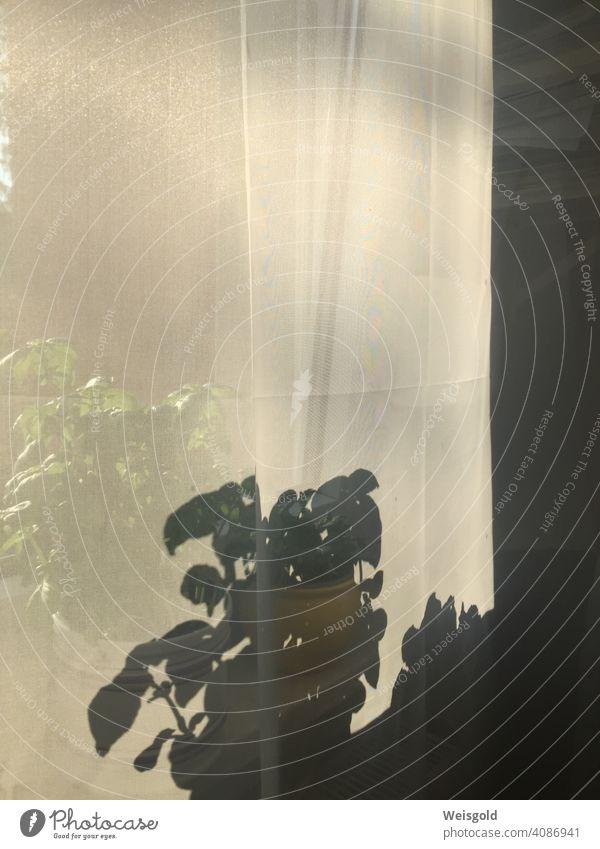 Stilleben am Fenster mit Topfpflanzen und Vorhang Fenstersims Schatten Schattenwurf Licht Sonnenlicht Sommer zu Hause Wohnung Melancholie melancholisch