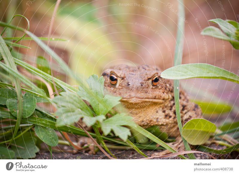 Kröte im Gras Umwelt Natur Tier Wildtier Tiergesicht beobachten Unke verstecken Tarnung Auge Haut sitzen warten Verhext Traumprinz Märchen Froschkönig Garten