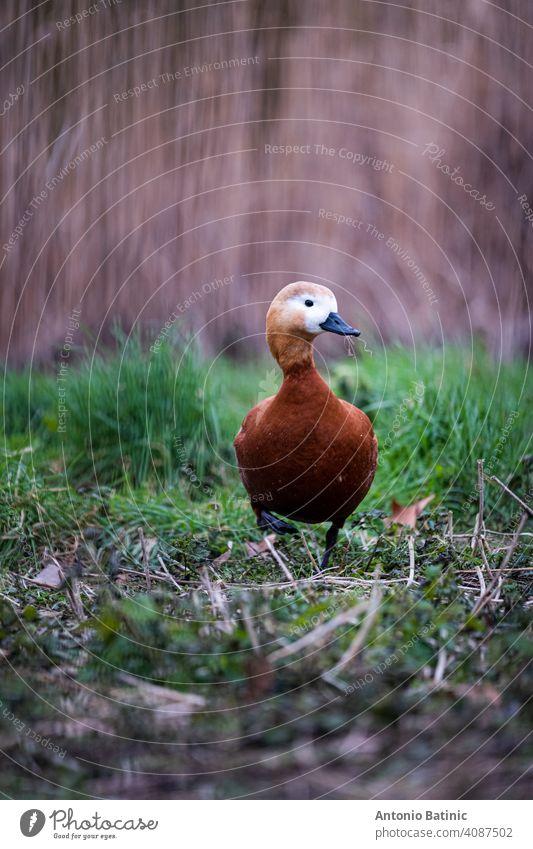 Vertikale Aufnahme einer einzelnen braunen Gans mit weißem Kopf, die durch ein Grasfeld in einem Park im Zentrum der Stadt London läuft. Ente Hausgans allein