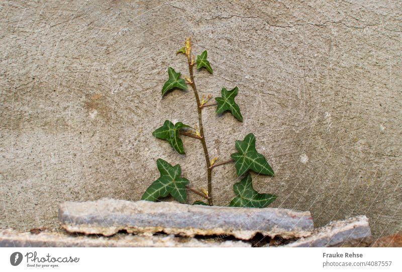 Efeu, das hinter Steinen eine Mauer hochwächst grün Ranke Hinterhof Wand Pflanze bewachsen Kletterpflanzen grau Efeuranke Fassade Grünpflanze Farbfoto