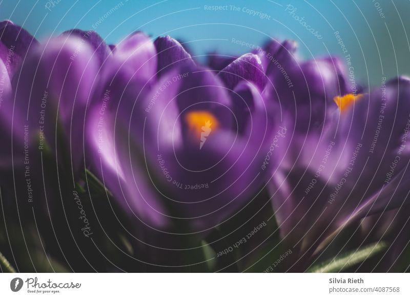Gruppe violett farbener Krokusse Frühling im Garten Blume Nahaufnahme Park Außenaufnahme Natur Blüte Tag Schwache Tiefenschärfe Blühend Umwelt Pflanze