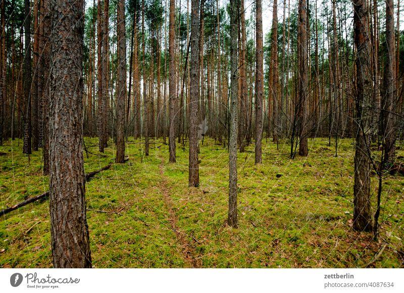 Wald in Rüdnitz baum deutschland dämmerung feierabend nadelbaum nadelwald natur park stadtpark textfreiraum wandern wanderung hochwald kiefer kiefern gras moos