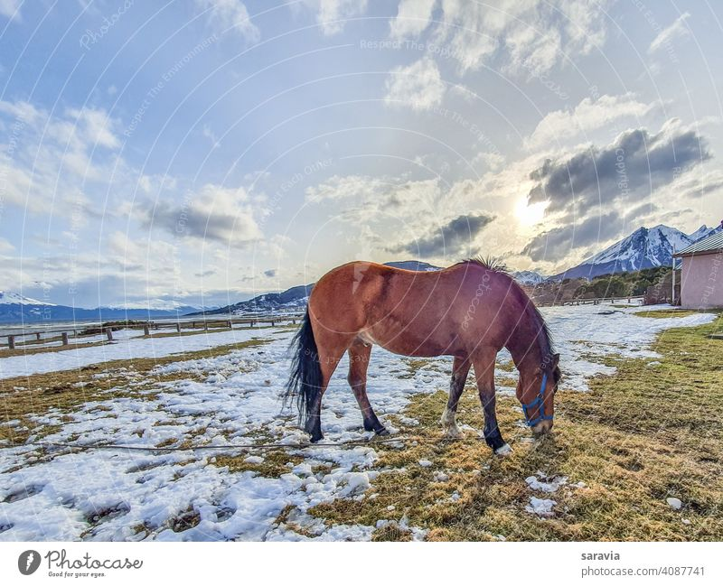 wild  horse  grazing  calmly  in winter  time  during  sunset animal field sky snow clouds eating colors mountain landscape