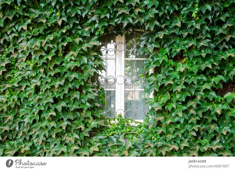 Weißes Fenster bedeckt mit grünem Efeu Fassade Wachstum Wand bewachsen Ranke Kletterpflanzen Natur Straßenlaterne Rahmen beschnitten Dekoration & Verzierung