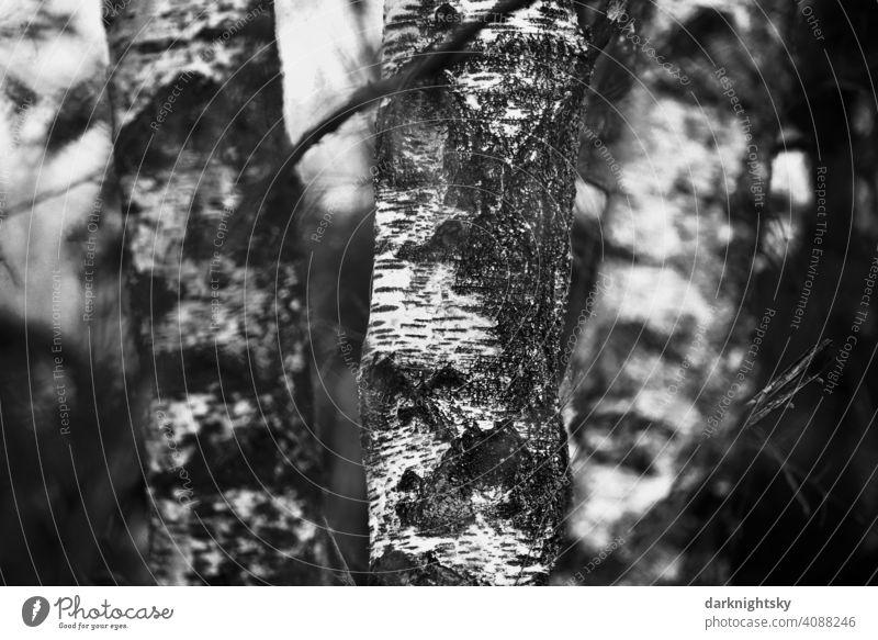Gruppe von Birken mit klassischer Struktur und Farbgebung der Borke Bäume schwarzweiß Land rural Natur Umwelt klassisches Motiv Weihnachten Advent Freiraum