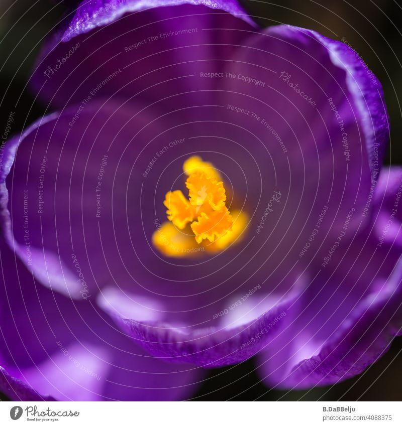 Kaum ist der Schnee Vergangenheit, ist der Frühlingsblüher einer der Ersten. Violetter Krokus im Quadrat und Detail. Garten violett violette Blüte Pollen Blume
