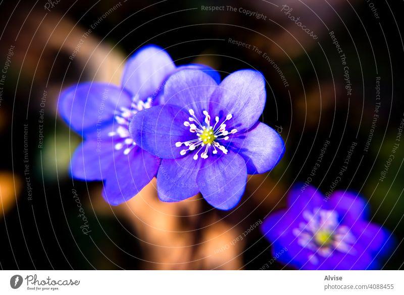 2021_03_13 Anemone Hepatica _1 Natur Pflanze blau Blüte Flora Blume Überstrahlung Leberblümchen Blütezeit Nahaufnahme schön Frühling Wald Kuhschelle