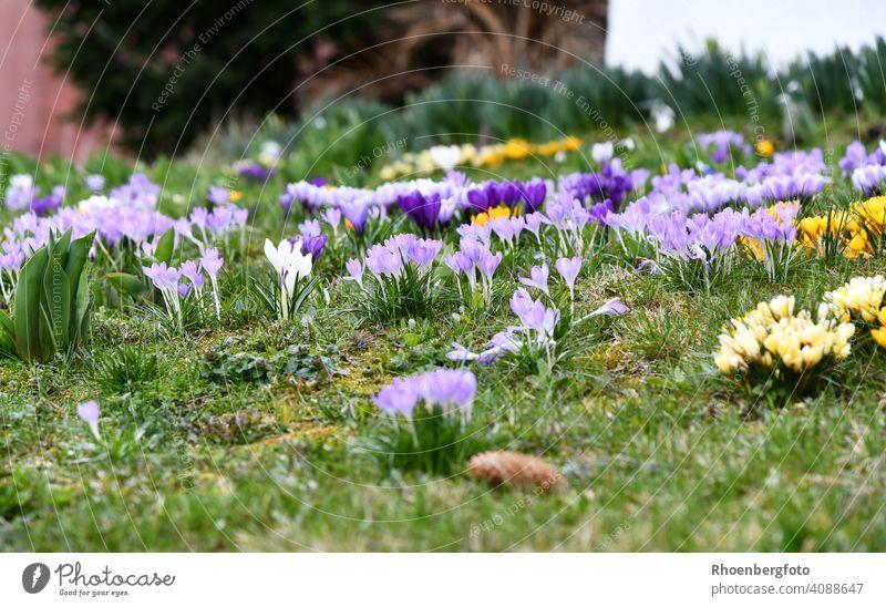 Zahlreich blühende Krokusse in verschiedenen Farben krokus krokusse frühblüher frühling zwiebelblumen blumenzwiebel bunt wetter sonne sorte garten gartenarbeit