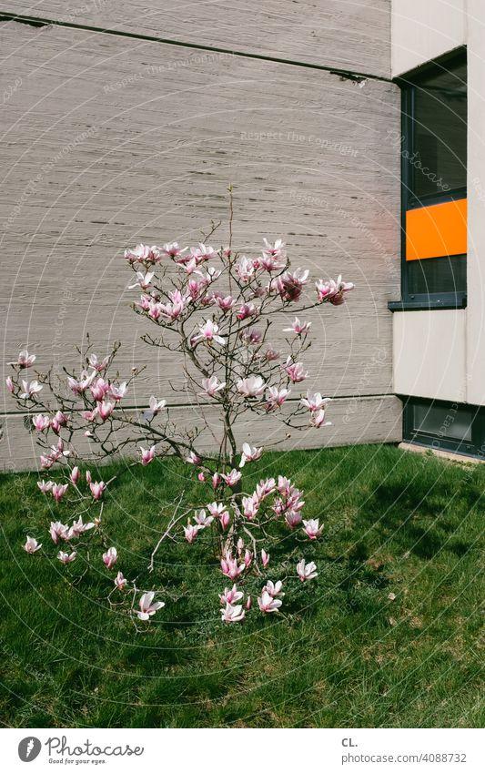 frühlingsblüte Frühling Blüte Baum strauch Wand Rasen Fenster Frühlingsgefühle Natur Beton Frühlingsblüte Blühend blühen