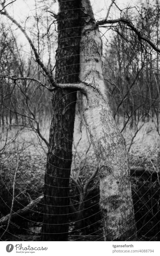 Umarmende Bäume Baum Baumstamm Birke Schwarzweißfoto ying yang umarmend umarmung Umarmung, Freund Partnerschaft im Freien Zusammensein Bonden Natur Romantik